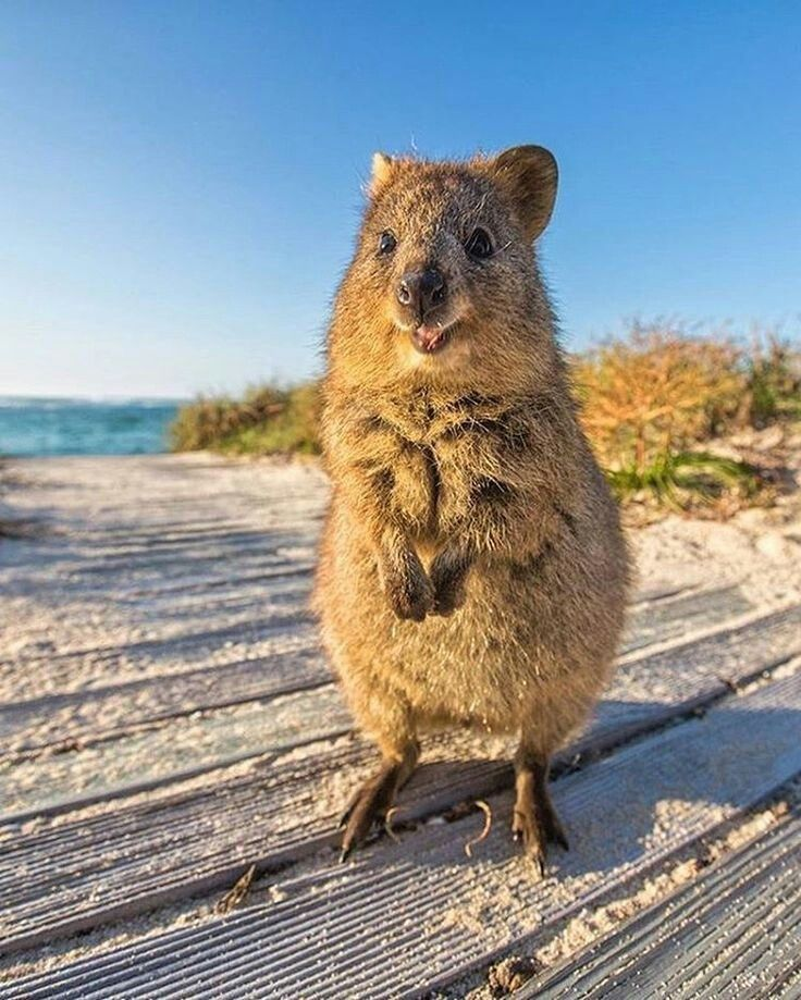 The quokka. It is a small nocturnal marsupial living in