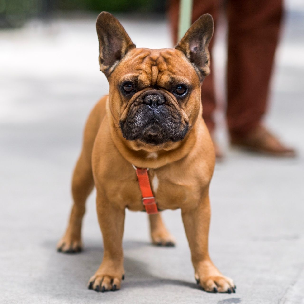 Rusty, French Bulldog (6 y/o), 8th & 5th Ave., New York