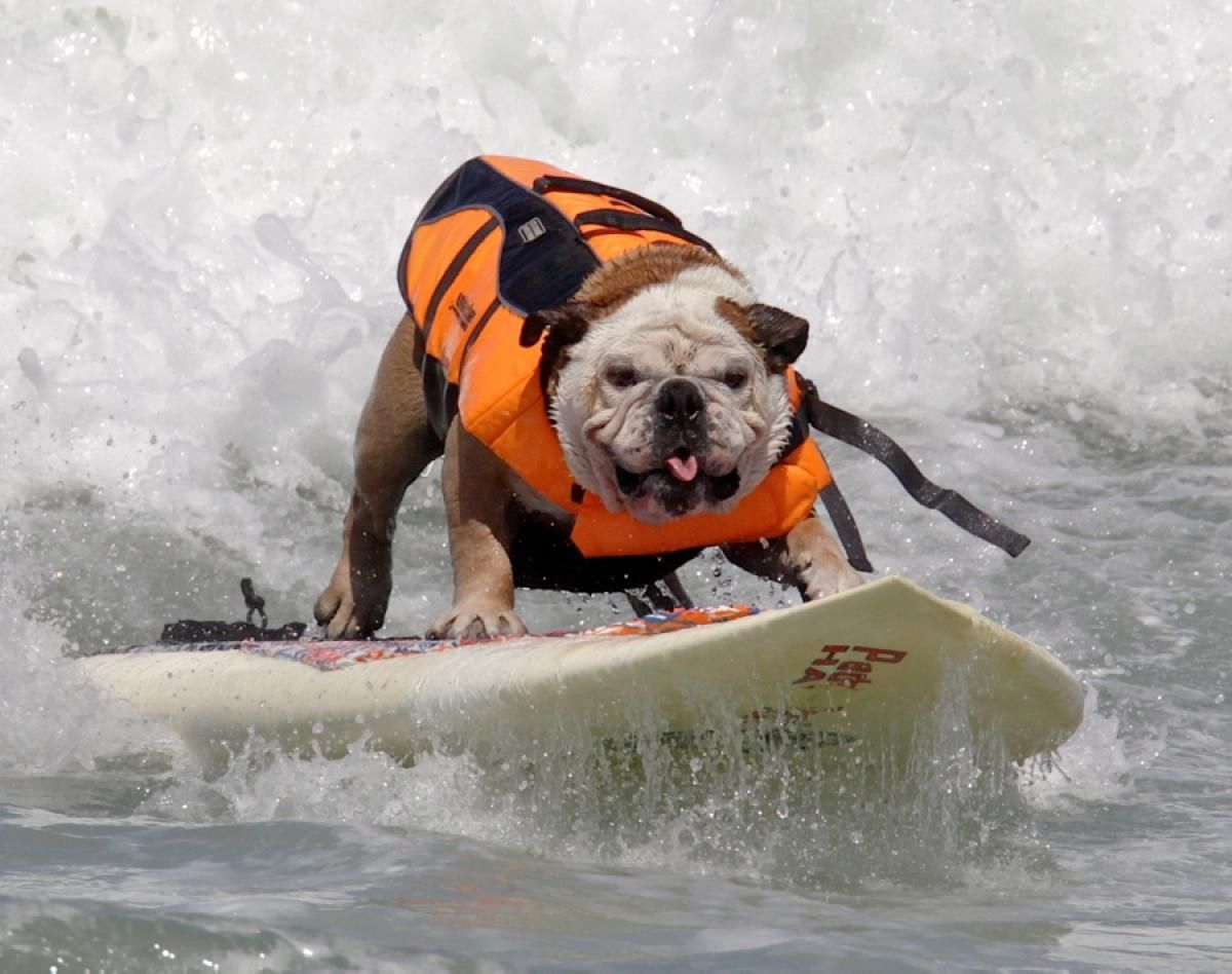 Dog On A Surfboard Photos Animals They Re Just Like People Dog Competitions Animals Dogs