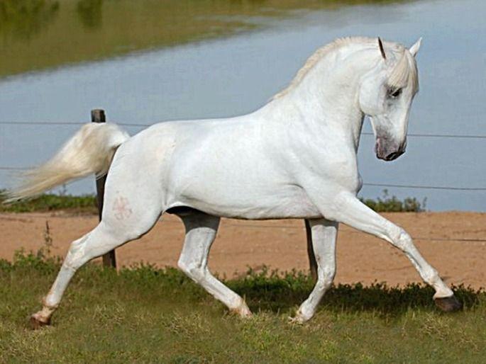 Lusitano Stallion Quinarius Photo Julia Wenstcher