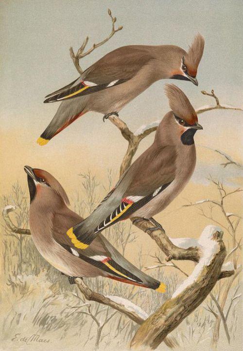 Heaveninawildflower Bohemian Waxwing Vintage Bird Illustration Bird Illustration
