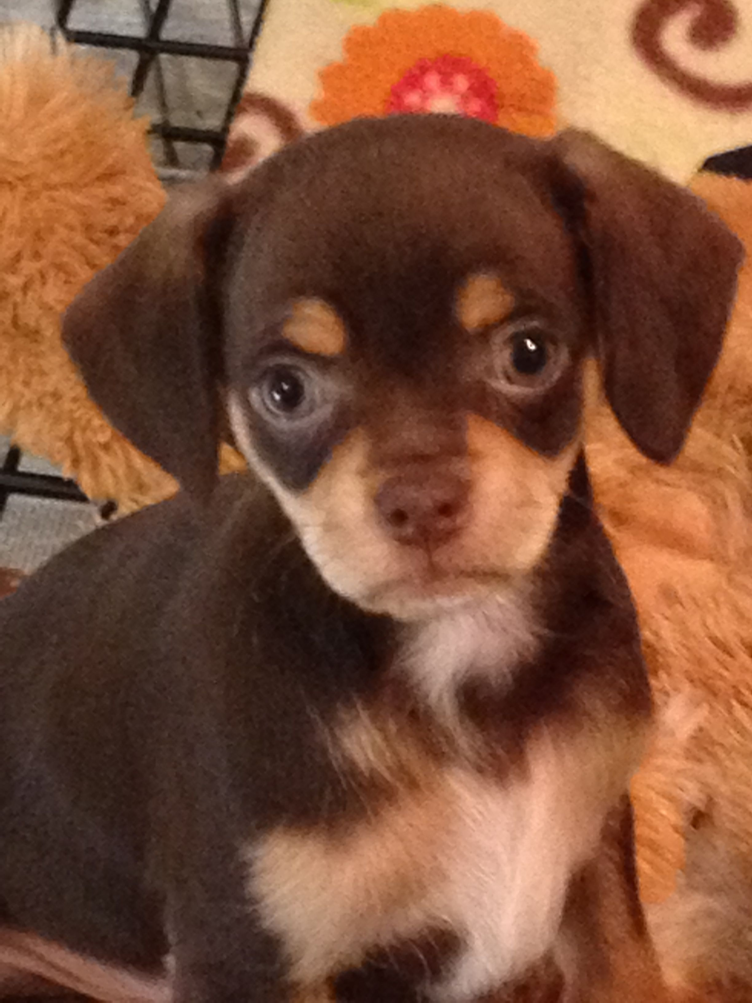 Pin By Cheryl Klein On Adorable Chihuahua Cocker Spaniel Puppies