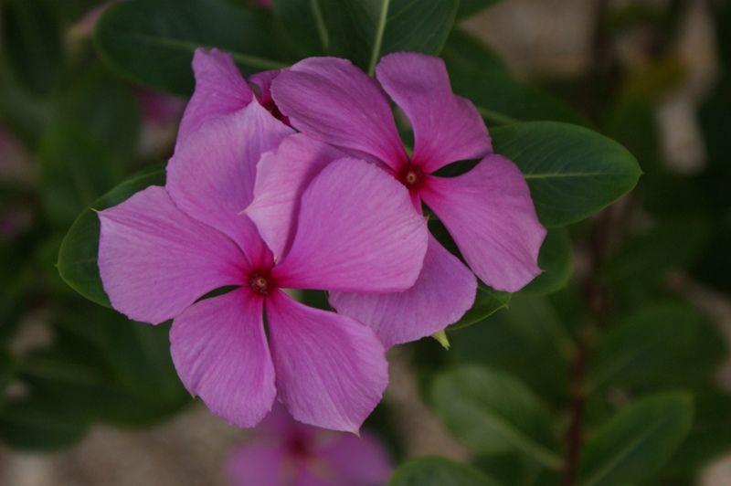 Resultado de imagen para coqueta flor