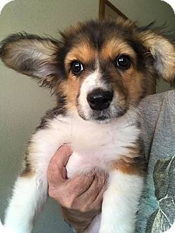 Australian Shepherd Corgi Mix Puppy For Adoption In Cave Creek