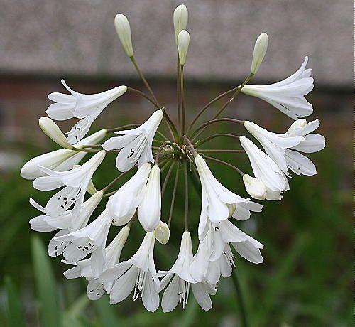 agapanthus white superior - this image is arctic star -