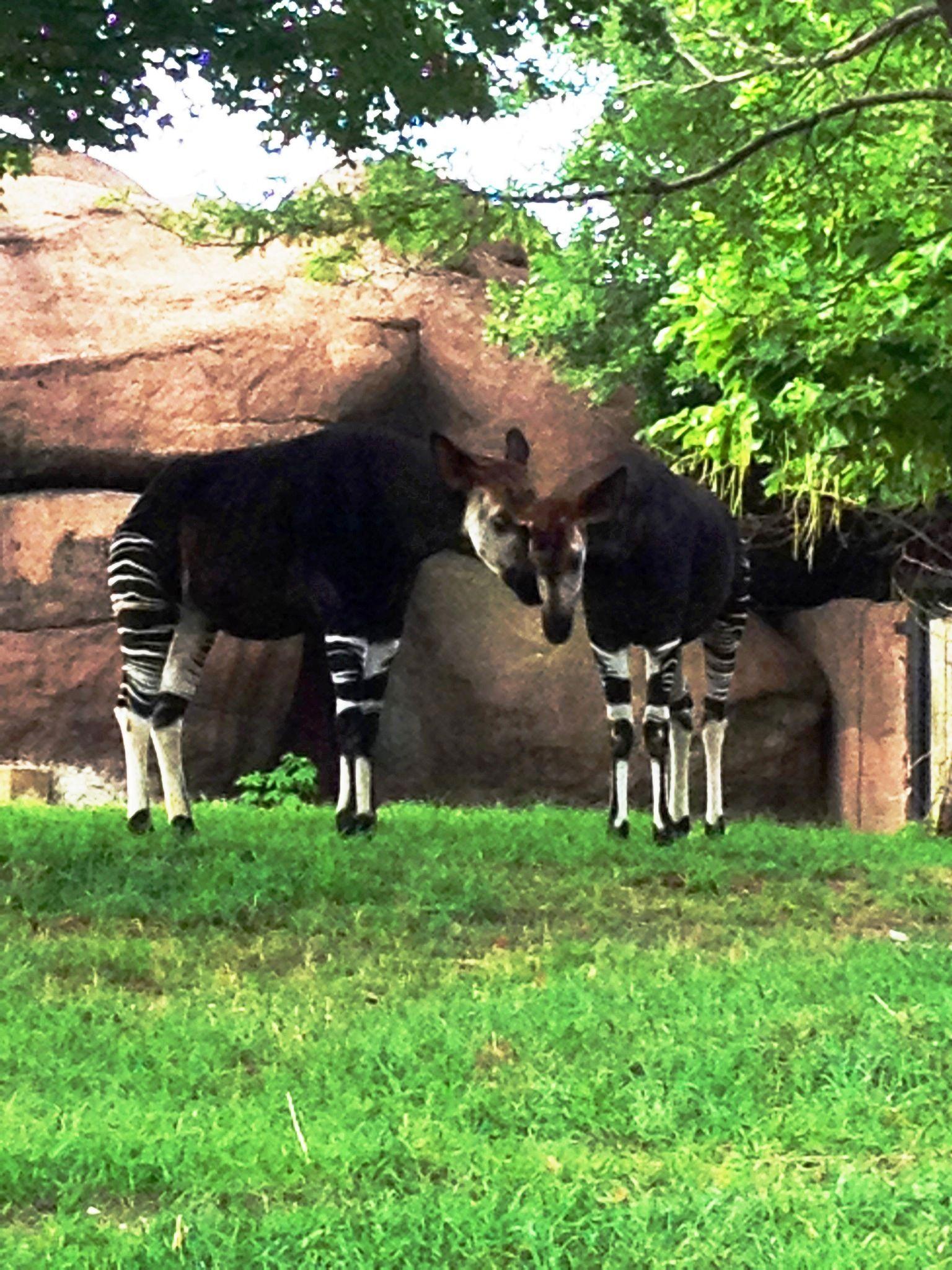 """Hey, Girl. Nice legs."" #okapi #stlzoo #animals #stripes #love"