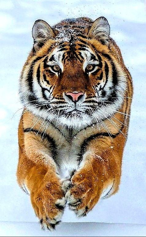 Pin by 🍒©️ Angel on FELINES (Big Cats) Animals beautiful