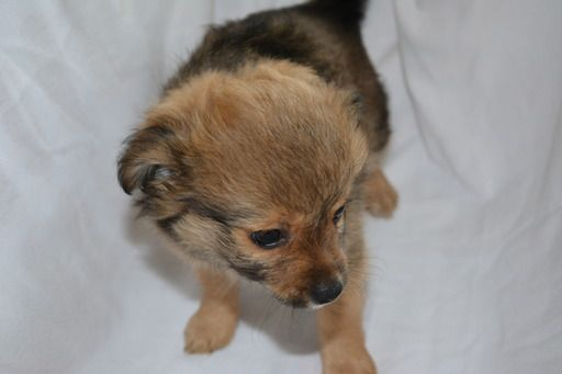 Litter of 5 Chiranian puppies for sale in BUSHKILL, PA  ADN