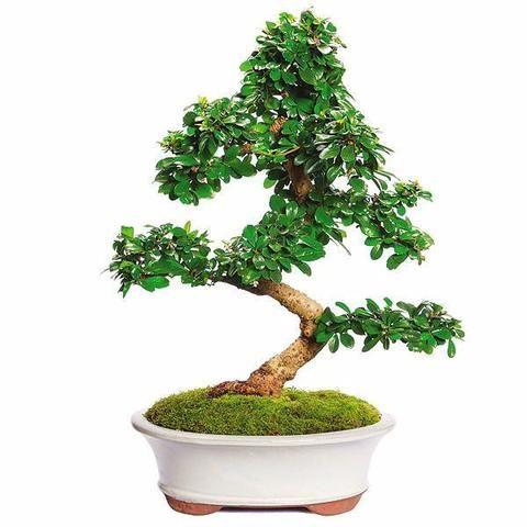 Fukien Tea Bonsai Tree For Sale Bonsai Baum Bonsai Projekte Fur Kinder