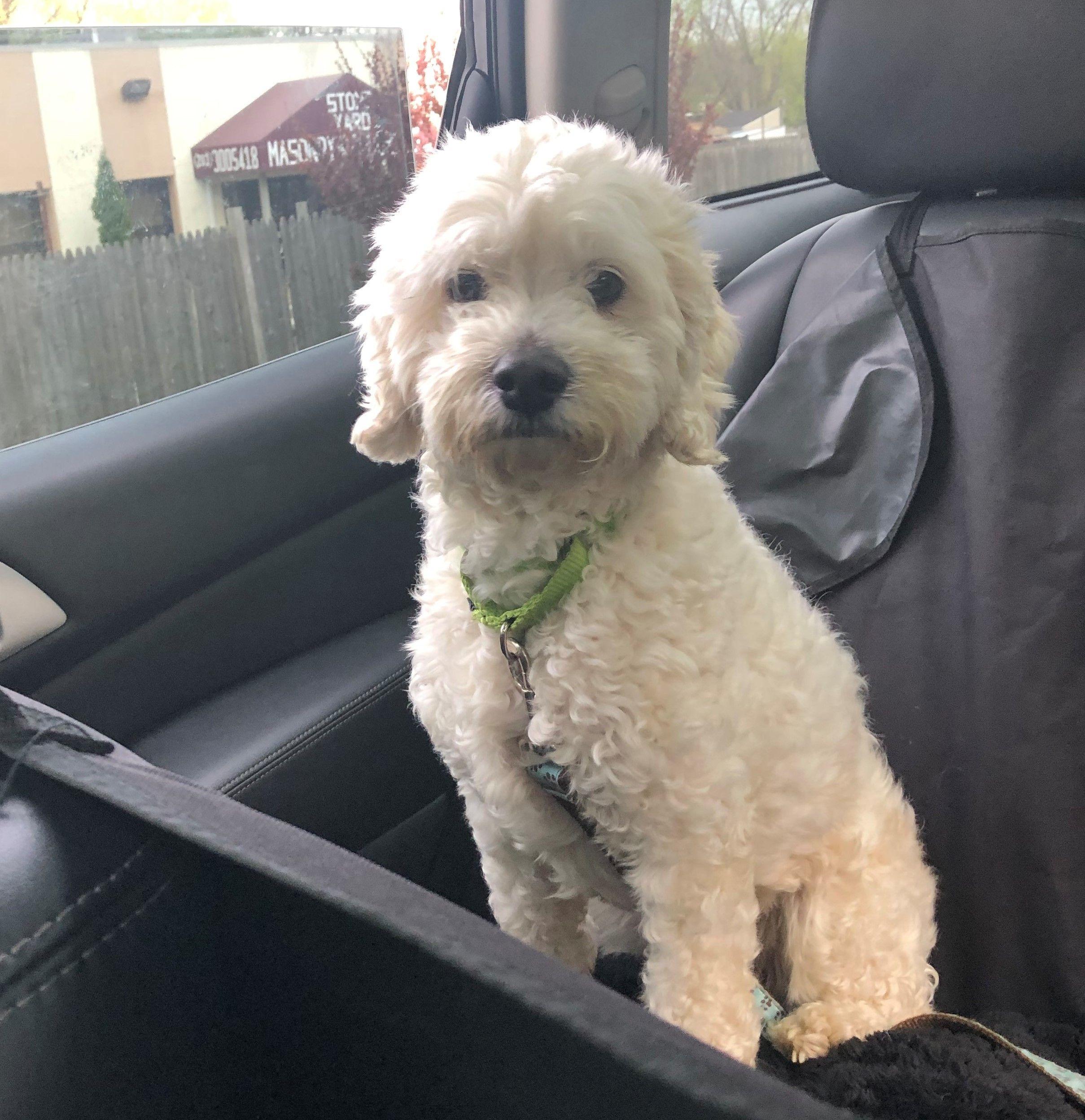 Adopt Cooper on Petfinder Poodle mix dogs, Cocker
