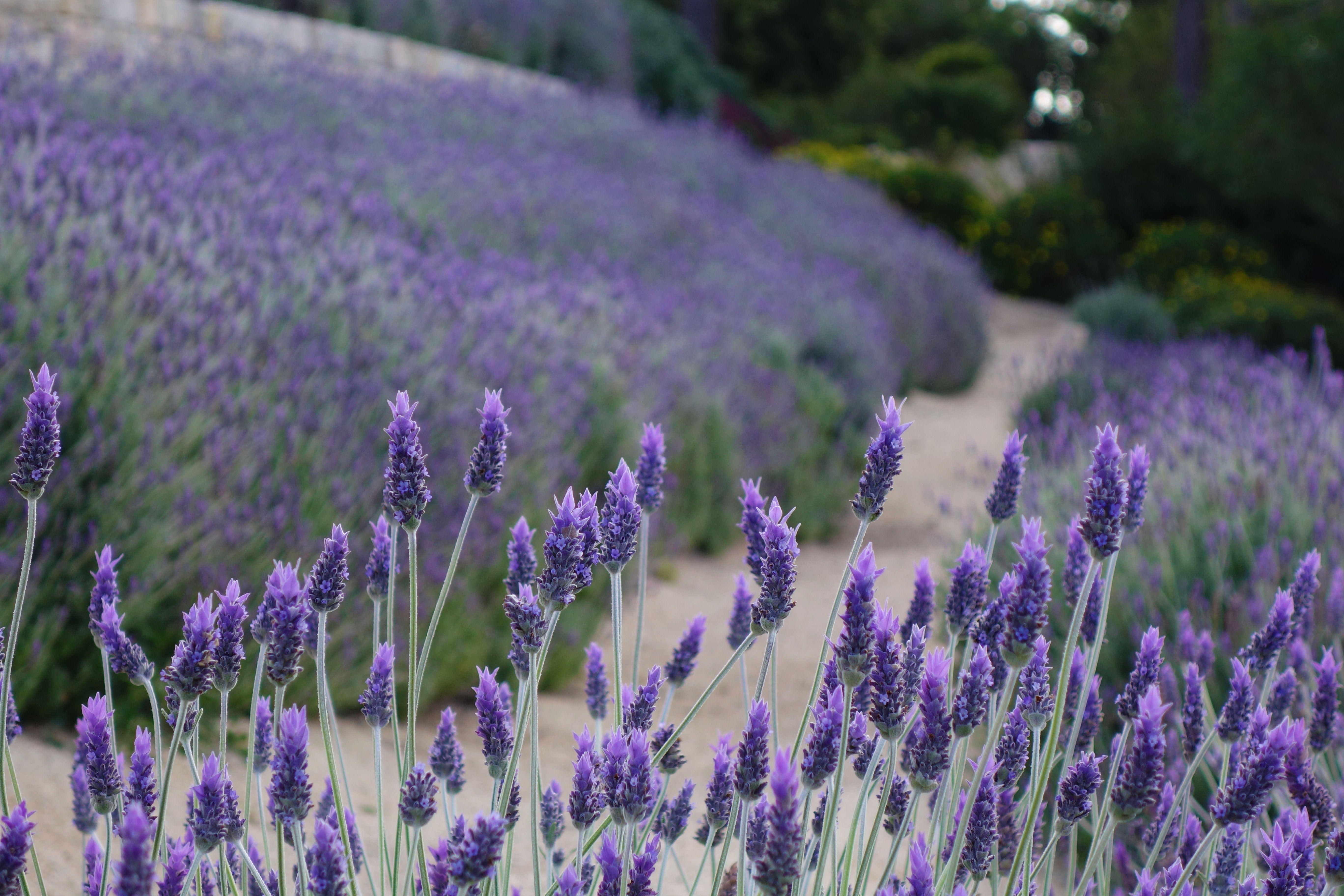 Path Leading Through Lavender Plants Lavender Fields Garden Inspiration