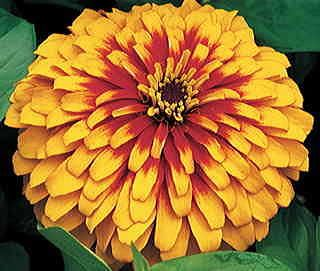 The showiest dwarf bedding Zinnia ever, with concentric circles of scarlet and yellow on big 3- to 4-inch double blooms. Plants are petite, just 10 to 12 inches high and wide, and bloom heavily all summer.