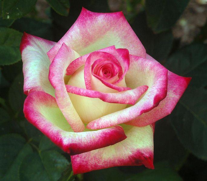 'Desperado' Rose