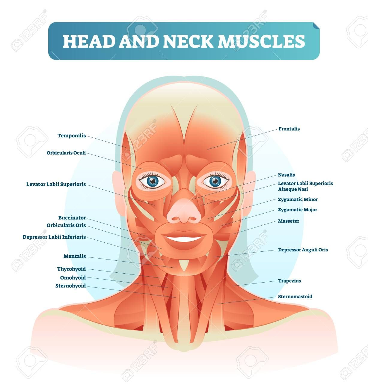 Head And Neck Muscles Labeled Anatomical Diagram Facial Vector Neck Muscle Anatomy Muscle Diagram Muscles Of The Face