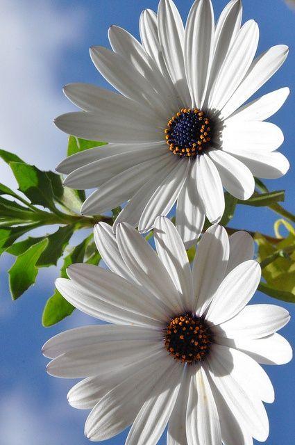 #Marguerites #fleurs #blanc