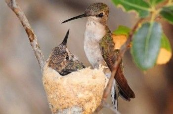 Attracting hummingbirds is even more fun when you find a hummingbird nest. Learn where to look.