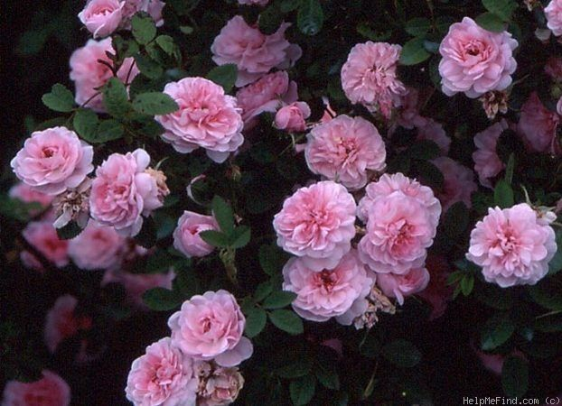 De Meaux 1659 Beautiful Small 1 Inch Flowers On 2 3 Foot Plant Passion Roses Flowers Rose Garden