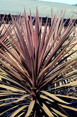 Cordyline Torbay Tropical Plants Desert Plants