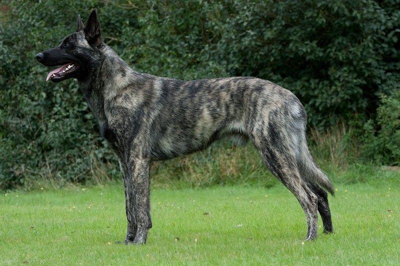 Grey Brindle Dutch Shepherd Dutch Shepherd Dog Belgian Malinois Dog Large Dog Breeds