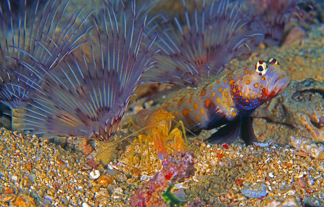 Orangespot Prawn Goby Amblyeleotris Gutatta With Symbiotic Shrimp Solomon Islands Family Pet Ocean Creatures Animals Wild