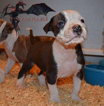 Alapaha Blue Blood Bulldog Puppy For Sale In Toledo Oh Adn 24628