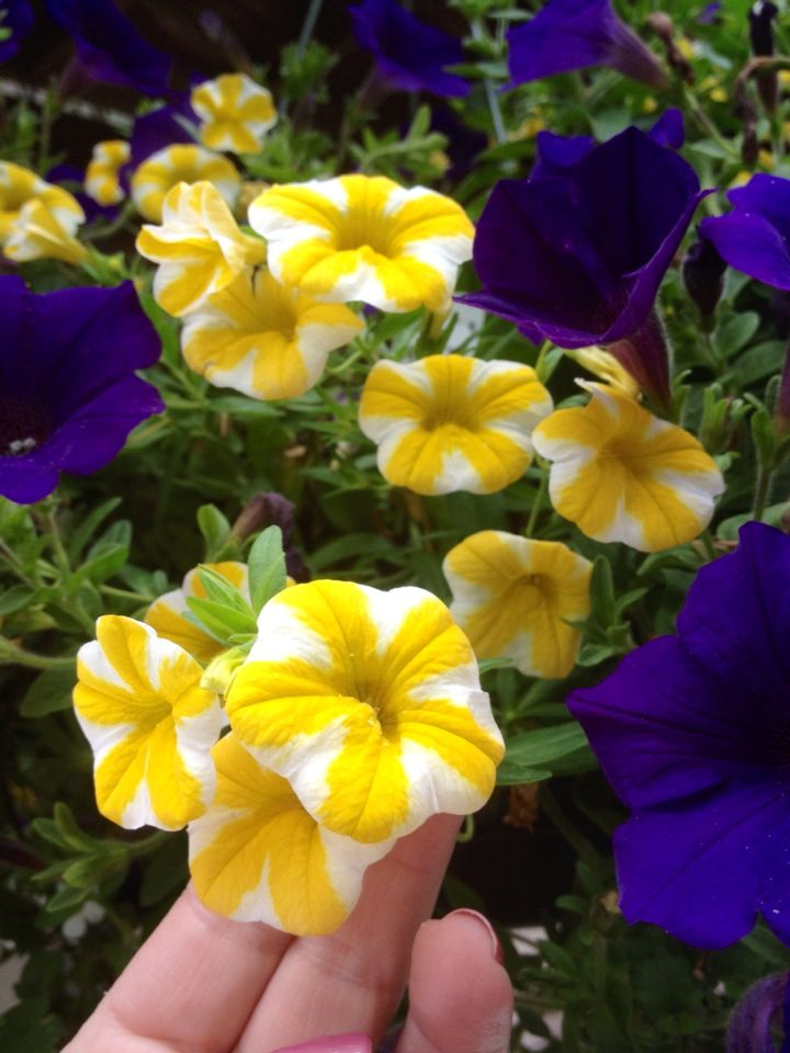 Starlet Yellow Petunia Google Search Petunia Plant Annual Flowers Flower Seeds