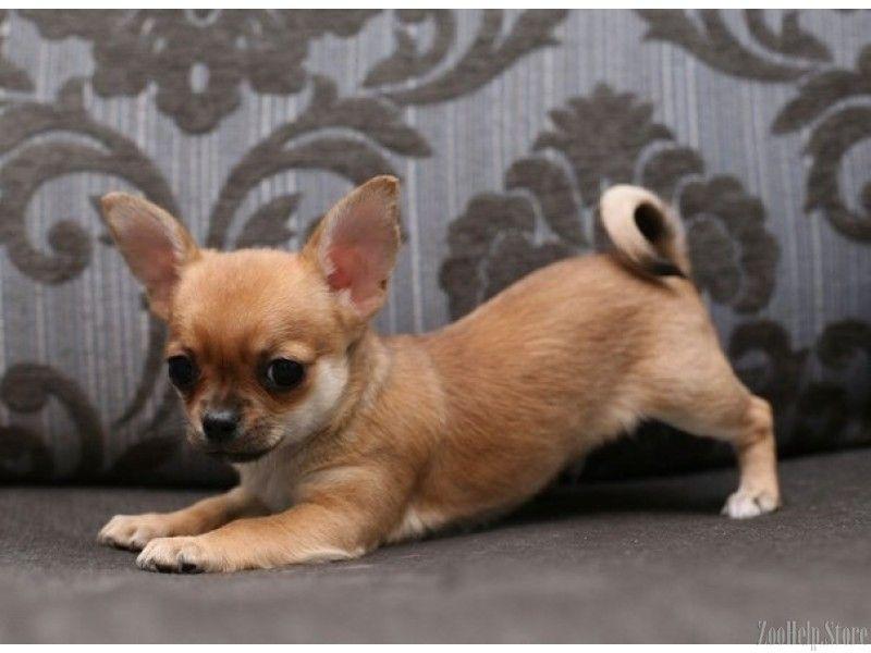 Chihuahua Puppies Southern Maryland