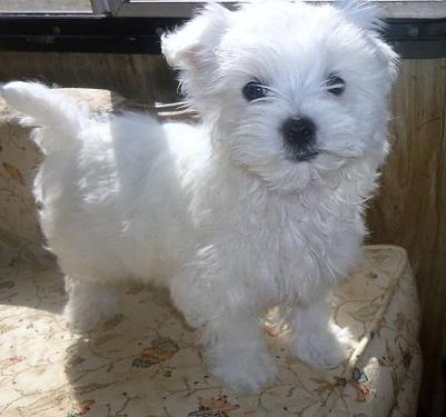 Fiona Adorable White Maltese Girl Cute Cats And Dogs Dogs And