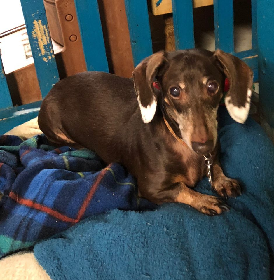 Adopt Cici On Adoptable Dachshund Dog Rescue Dogs Dogs