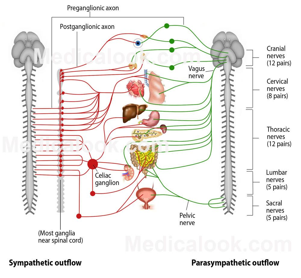 autonomic nervous system [ 1000 x 922 Pixel ]