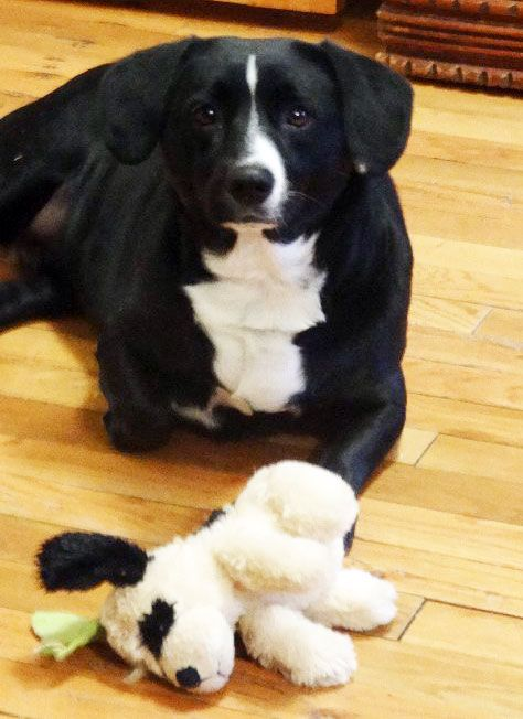 Twist is an #adoptable Labrador Retriever mix w/ Save A Dog in #Sudbury, #Massachusetts ---  a spayed about 2-3 yr female mixed breed dog that was in the animal shelter in TN. She was very afraid with all the big scary dogs around her. When they all started barking she would run outside in freezing temps just to get away, she...