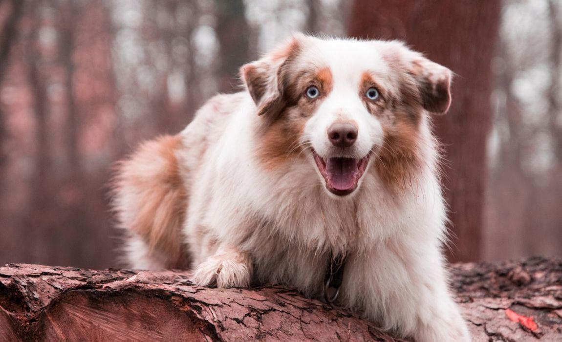 best dog food for australian shepherd mix