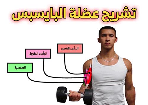 تشريح عضلة البايسبس Bodybuilding Biceps Exercise