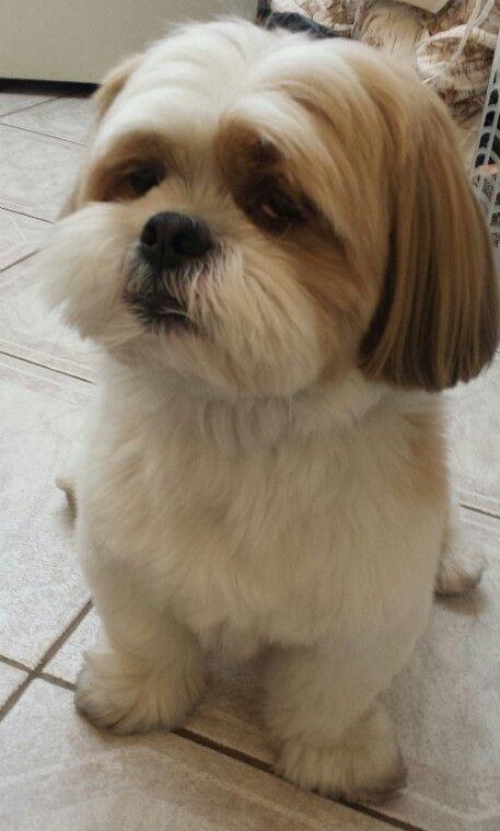 Lhasa Apso Hairstyles For A Dog Named Brock Lhasa Apso Puppies Lhasa Apso Shih Tzu