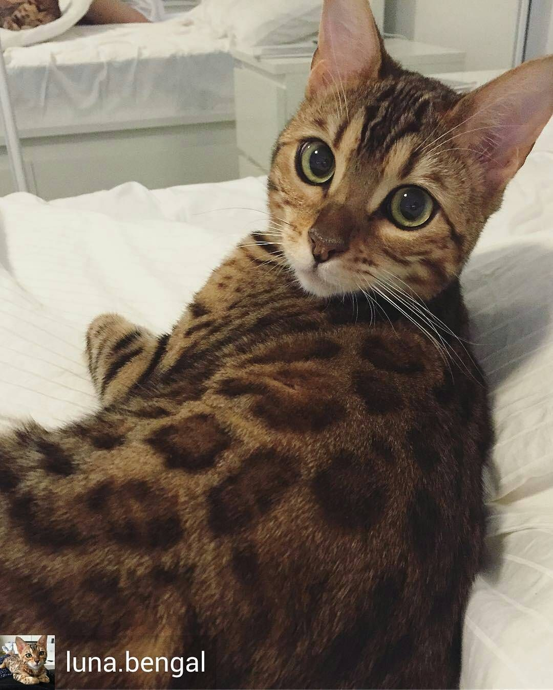 113 Likes, 3 Comments Bengal Cat Lover (bengalcat.page
