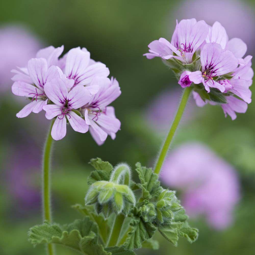 Geranium Attar of Roses - Scented Leaf Geraniums : Attar ...