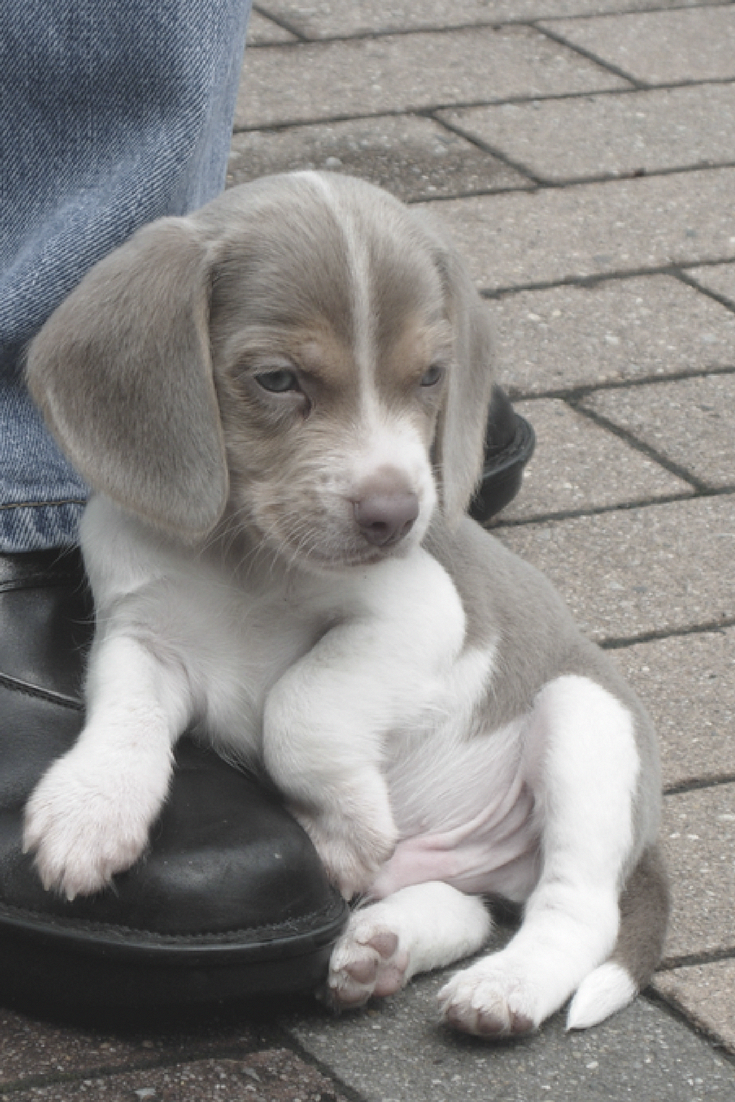 Silver Beagle Puppy Beagle Dogtraining Vetassistant
