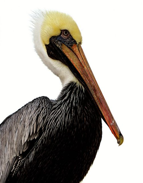 Pelican Portrait by Babylon and Beyond Photography, via Flickr