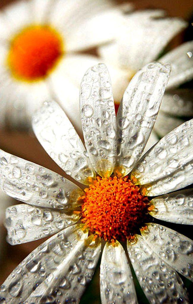 Daisies - Macro Photography   Flowers nature, Flowers