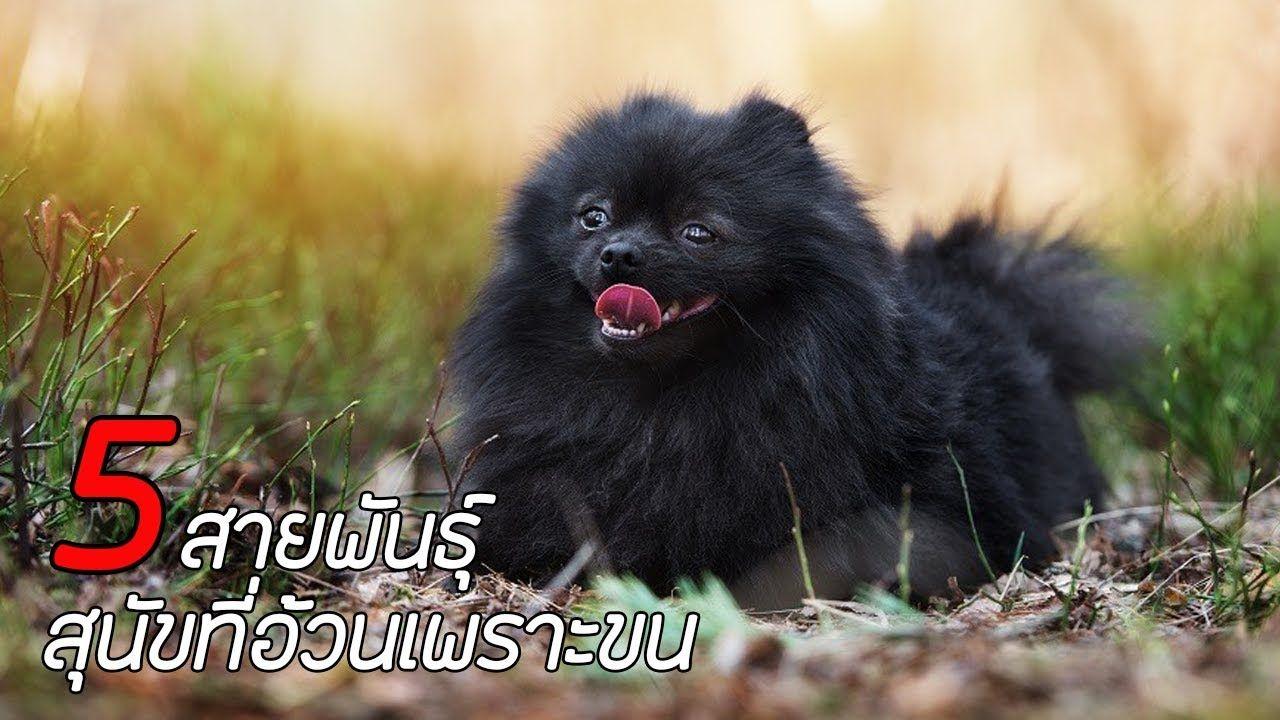5 สายพ นธ ส น ขท อ วนเพราะขน Pomeranian Chihuahua Mix Black Pomeranian Pomeranian Chihuahua