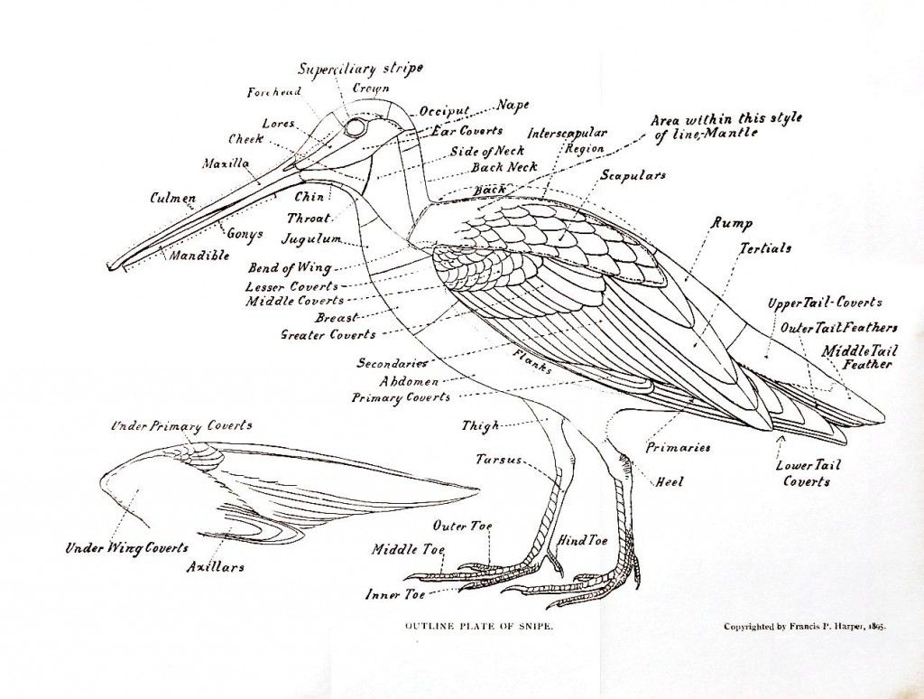 Animal Bird Anatomy Of A Snipe North American Shore Birds A History Of