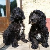 Cockapoo F1 Black Pups From Championship Winning Lines For Sale In Wellington Somerset South West Dogs Cockapoo Cockapoo Puppies For Sale Dogs And Puppies