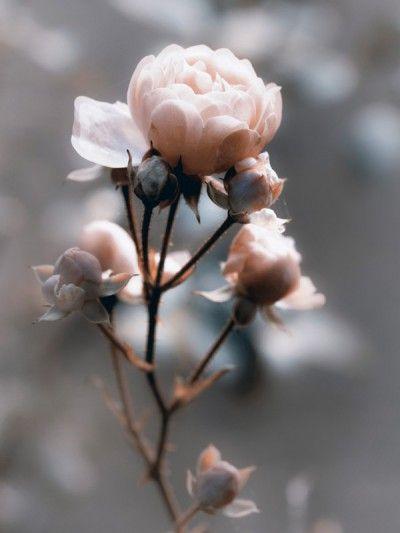 Uta Naumann: Rose im Gegenlicht – Leinwandbilder auf Keilrahmen