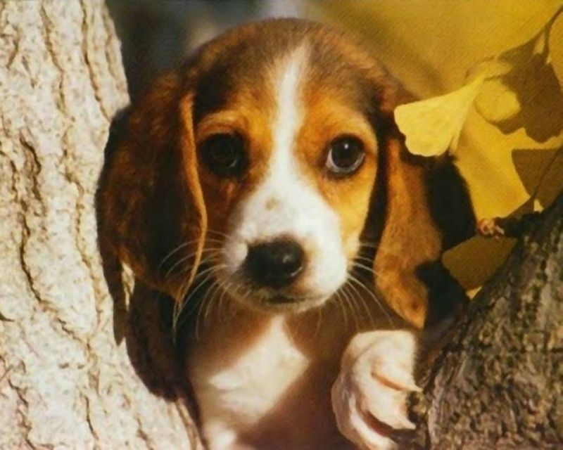 Beagle Google Search Beagle Love Beagle Puppy Adoptable
