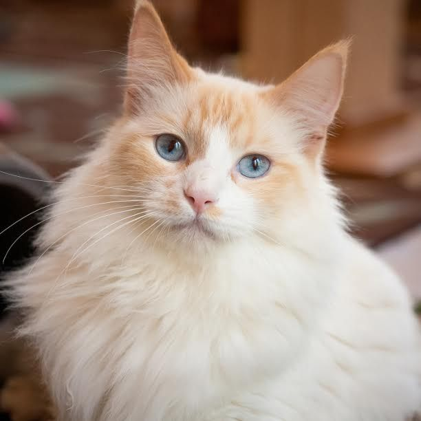 Being Blond Blue Eyed And Gorgeous May Be A California Cliche But In Skye S Case It S Just The Reality Now Help This The Shelter Pet Project Cats Snap Cat
