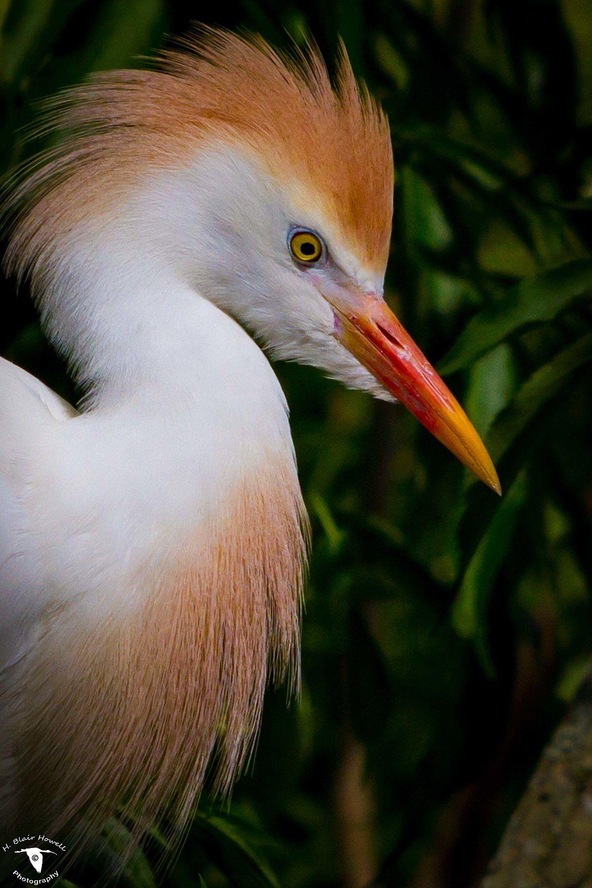 Cattle egret Wikipedia Cattle, Animals, Wildlife