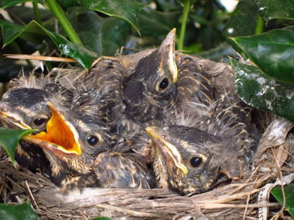 baby robins leaving nest   Baby American Robins In A Nest ...