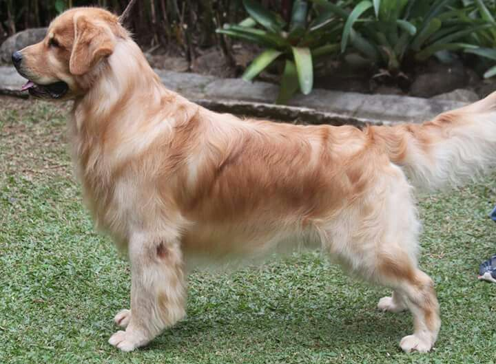 Show Golden Retriever Nice Stack 3 3 3 3 3 3 3 With Images