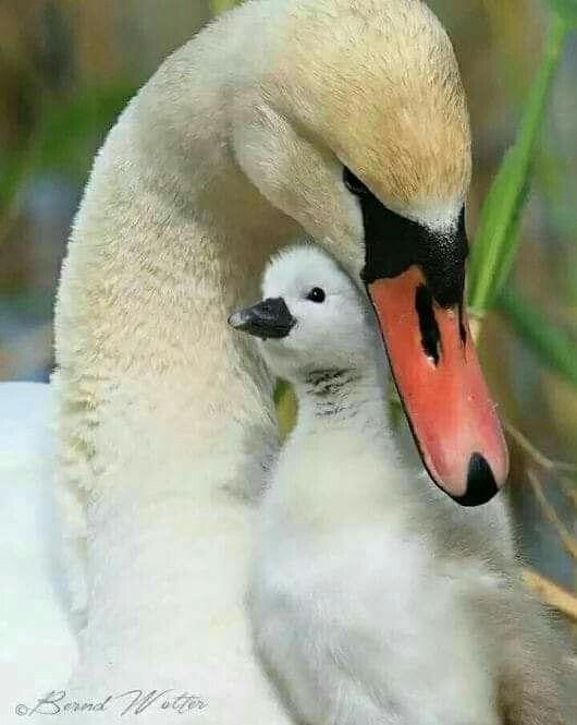 Baby Swan Spring Animals Wallpapers | Spring | Pinterest