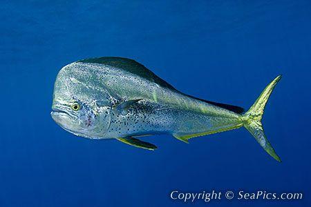 Dorado bull dolphin fish mahi fish pinterest fish for Dolphin fish pictures